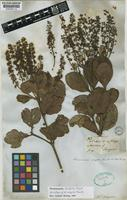 Lectotype of Weinmannia rugosa Benth. [family CUNONIACEAE]
