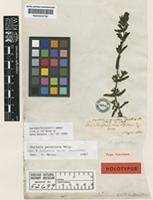 Holotype of Bartsia subinclusa Benth. [family SCROPHULARIACEAE]