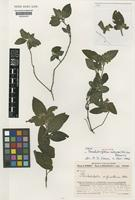 Isotype of Pseudodicliptera sulfureolilacina Benoist [family ACANTHACEAE]