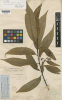 Syntype of Nectandra antillana Meisn. [family LAURACEAE]