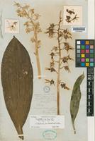 Holotype of Monachanthus roseo-albus Hook. [family ORCHIDACEAE]