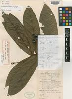 Holotype of Nectandra miranda Sandwith [family LAURACEAE]