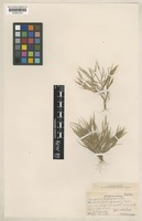 Isotype of Panicum carteri Hosaka [family POACEAE]