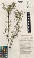 Isotype of Persoonia hindii P.H.Weston & L.A.S.Johnson [family PROTEACEAE]