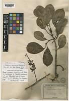 Isolectotype of Geissois montana Vieill. ex Brongn. & Gris [family CUNONIACEAE]