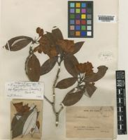 Isotype of Rhododendron gracilipes Franch. [family ERICACEAE]