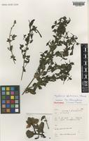 Isotype of Barleria glutinosa Champl. [family ACANTHACEAE]
