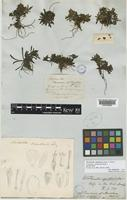 Lectotype of Trineuron spathulatum Hook.f. [family COMPOSITAE]