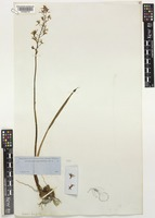 Type of Oreorchis lancifolia A.Gray [family ORCHIDACEAE]