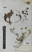 Aster stracheyi Hook.f. [family COMPOSITAE]