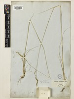 Piptatherum holciforme (M.Bieb.) Roem. & Schult. [family POACEAE]