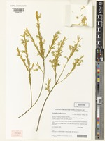 Isotype of Eremophila tenella Chinnock [family SCROPHULARIACEAE]