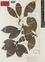 Lectotype of Baccaurea sarawakensis Pax & K.Hoffm. [family PHYLLANTHACEAE]