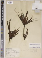 Holotype of Phyllanthus watsonii Airy Shaw [family PHYLLANTHACEAE]