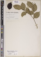 Isosyntype of Phyllanthus flaviflorus (K.Schum. & Lauterb.) Airy Shaw [family PHYLLANTHACEAE]