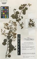 Isoparatype of Mikania glandulosissima W.C.Holmes & D.J.N.Hind [family COMPOSITAE]