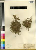Isotype of Arenaria uninervia McNeill [family CARYOPHYLLACEAE]