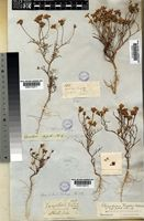 Steirodiscus tagetes (L.) Schltr. [family COMPOSITAE]