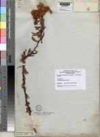 Holotype of Calliandra blanchetii Benth. [family LEGUMINOSAE-MIMOSOIDEAE]
