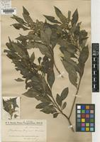 Baccharis rojasii Hassler [family COMPOSITAE]