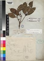 Holotype of Clitandra cymulosa Benth. [family APOCYNACEAE]