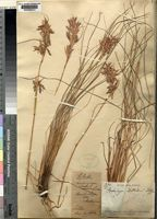 Holotype of Cymbopogon dieterlenii Stapf ex Schweick. [family POACEAE]