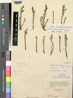 Holotype of Rotala milne-redheadii A.Fern. & Diniz [family LYTHRACEAE]