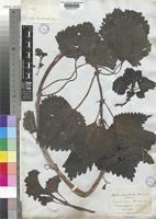 Type of Urtica australis Hook.f. [family URTICACEAE]