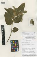 Isotype of Waltheria biribiriensis J.G.Saunders [family STERCULIACEAE]