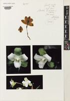 Isotype of Lycaste angelae Oakeley var. alba Oakeley [family ORCHIDACEAE]