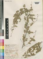 Holotype of Phyllanthus wingfieldii Radcl.-Sm. [family EUPHORBIACEAE]