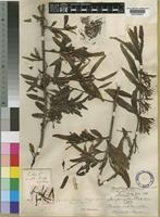 Type of Loranthus carsonii Baker & Sprague [family LORANTHACEAE]