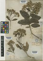 Acrisione denticulata (Hook. & Arn.) B.Nord. [family COMPOSITAE]