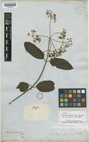 Isotype of Viburnum divaricatum Benth. [family CAPRIFOLIACEAE]