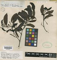 Isolectotype of Malouetia tamaquarina (Aubl.) A.DC. var. brasiliensis Müll-Arg [family APOCYNACEAE]
