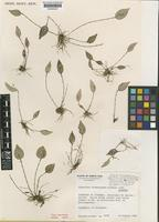Isotype of Lepanthes woodburyana Stimson [family ORCHIDACEAE]