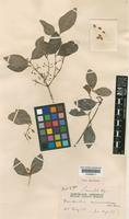 Type of Elaeodendron microcarpum C.T.White & W.D.Francis [family CELASTRACEAE]