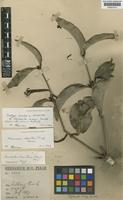 Lectotype of Elytranthe wrayi Gamble [family LORANTHACEAE]