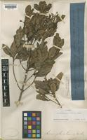 Holotype of Acronychia laevis J.R.Forst. & G.Forst. [family RUTACEAE]