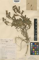 Type of Lychnis atsaensis C.Marquand [family CARYOPHYLLACEAE]