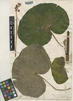 Type of Begonia lyncheana Hook.f. [family BEGONIACEAE]