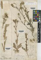 Malacothrix coulteri A.Gray [family COMPOSITAE]