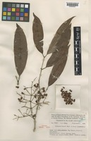 Isotype of Syzygium brassii Merr. & L.M.Perry [family MYRTACEAE]