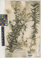 Syntype of Baccharis helichrysoides DC. [family COMPOSITAE]