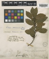 Isotype of Litsea grayana A.C.Sm. [family LAURACEAE]