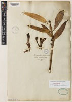 Isolectotype of Aeschynanthus fulgens Wall. ex R.Br. [family GESNERIACEAE]