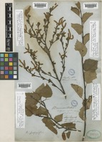 Lectotype of Betula occidentalis Hook. [family BETULACEAE]