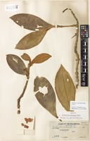 Isotype of Medinilla calcicola Merr. [family MELASTOMATACEAE]