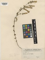 Metagentiana eurycolpa (C.Marquand) T.N.Ho & S.W.Liu [family GENTIANACEAE]