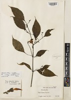 Holotype of Strobilanthes candida J.R.I.Wood [family ACANTHACEAE]